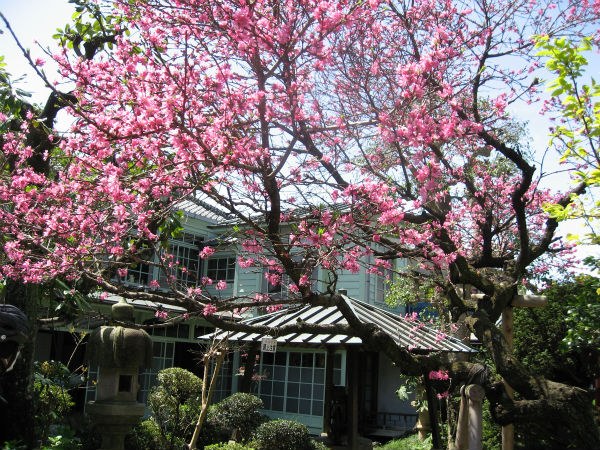 蒲原の月遅れひなまつり 菊桃のお花見